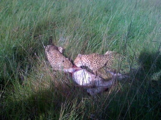 Mara Explorer Camp: Cheetahs with kill
