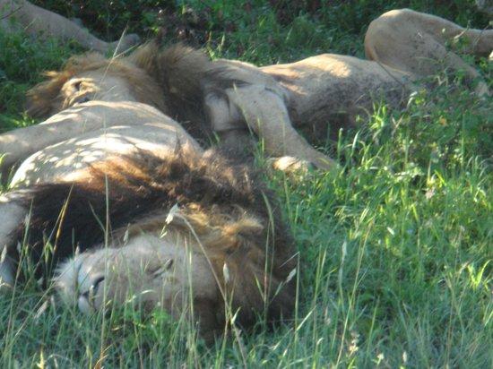 Mara Explorer Camp: Lions siesta