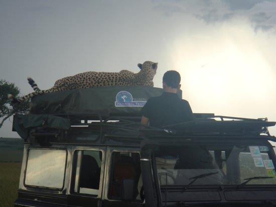 Mara Explorer Camp: Cheetas on jeep