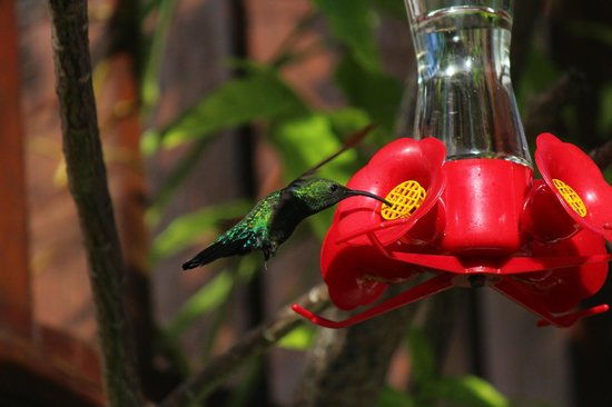 Bel Jou Hotel: Green-throated hummingbird near the pool