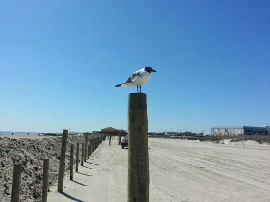 Stewart Beach: Seagull near the parking area.