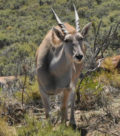 Fairy Glen Private Game Reserve: I'm the eland, who are you?