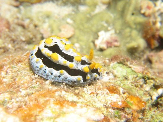 Apo Reef Natural Park: nudibrach