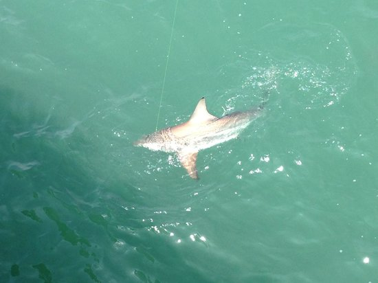 Springmaid Pier Shark We Saw From The Myrtle Beachs