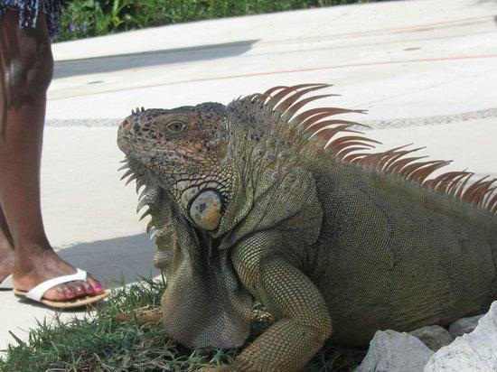 Occidental Cozumel: iguana