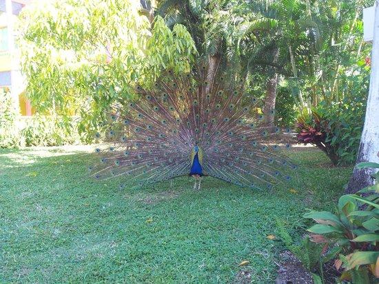 Grand Pineapple Beach Negril: My Peacock friend
