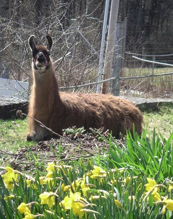 Pie-in-the-Sky Farm Bed & Breakfast: Russ llama resting in dafodil bed this April