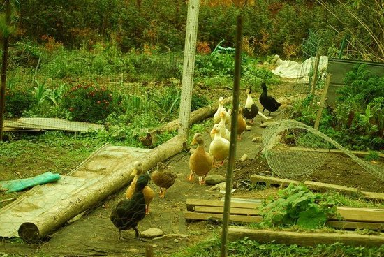 Pie-in-the-Sky Farm Bed & Breakfast: Duck Parade through vegetable garden