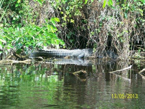 Ivey House: paddle tour - Alligator