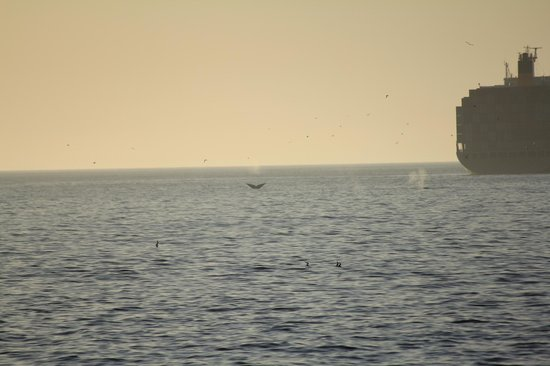 Dolphin Inn Guesthouse, Mouille Point: Whales breaching