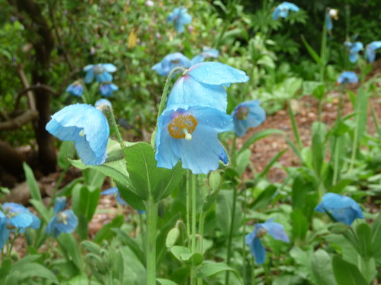VanDusen Botanical Garden: Blue Poppy Bed.
