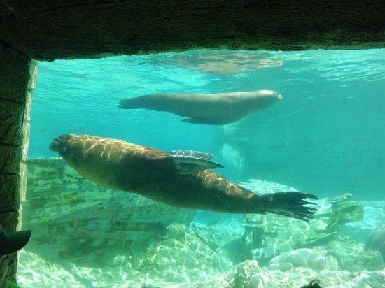 Aqua Natura : leones marinos nadando