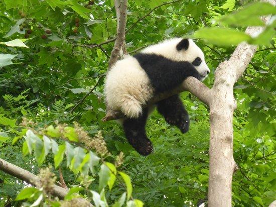 Should I Book Panda Tour Chengdu