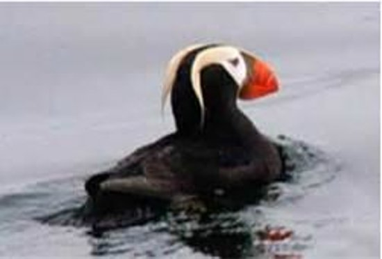 Sitka Secrets: Tufted Puffin