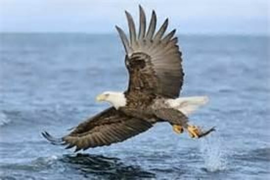 Sitka Secrets: Eagle catching a Herring
