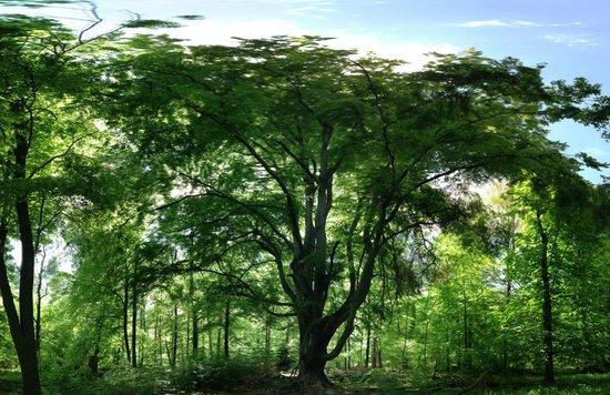Bärensee: Ein Schoner alter Baum