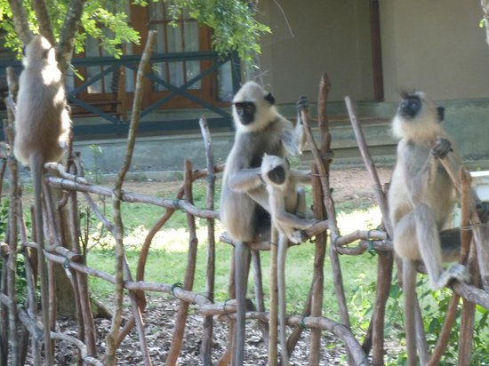 Cinnamon Wild Yala: monkeys