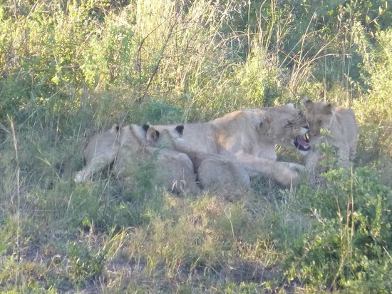 Motswiri Private Safari Lodge: Lioness and cubs