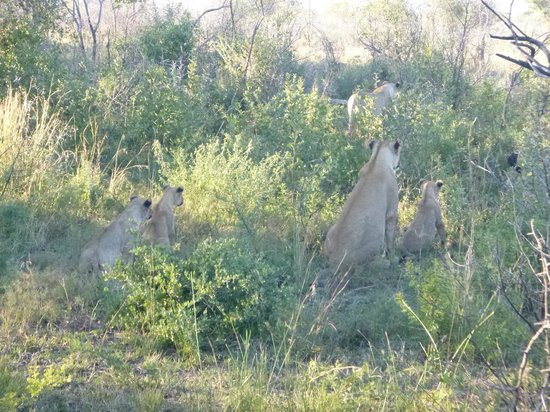 Motswiri Private Safari Lodge: Lioness and cubs starting the hunt for wilderbeast