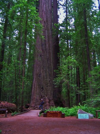 Avenue of the Giants: Founder's Tree