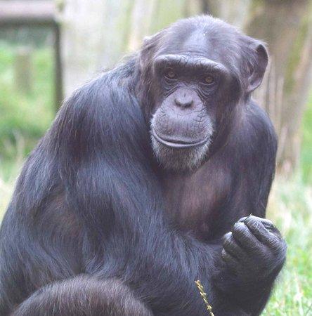 Twycross Zoo : Chimpanzee