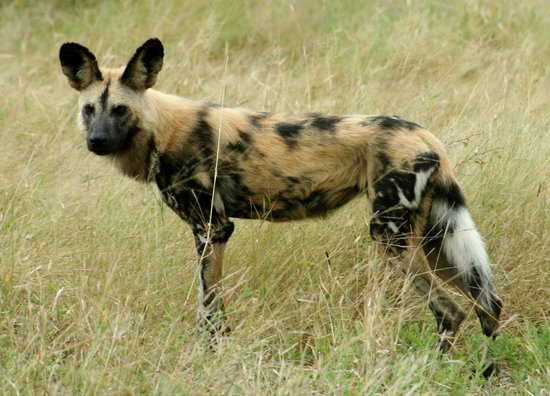 Kings Camp: African wild dog