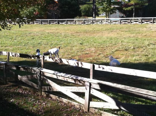 Highland Lake Inn & Resort Hendersonville: The goats that are across from the Garden Hamlet cottages