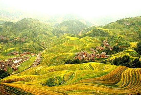 Longji Silver Terraces Hotel : Rice golden