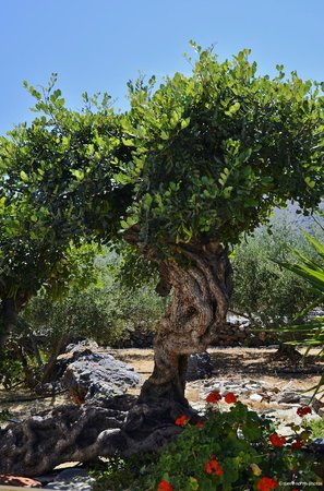 Elounda Heights Apartments and Studios: Elounda Heights rare 500 year old carob tree.