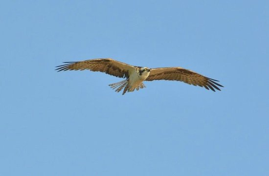 Captiva Island Inn Bed & Breakfast: Osprey in flight - From Marina at end of Andy Rosse Lane