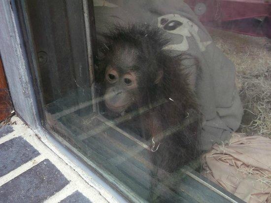 Monkey World: Baby Orang in the Nursery
