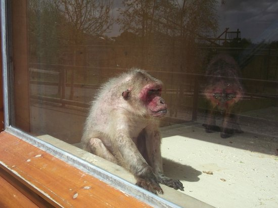 Monkey World: Stumpy - Ugly Monkey