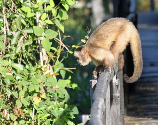 Araras Pantanal Ecolodge: Brown capucin monkey