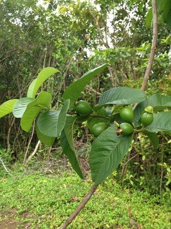 Hoomaluhia Botanical Gardens: fruit