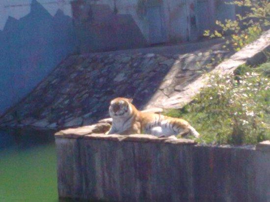 Zoológico de Vigo: tigre