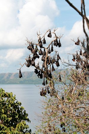 Club Paradise Palawan: The trees are filled with harmless but noisy bats.