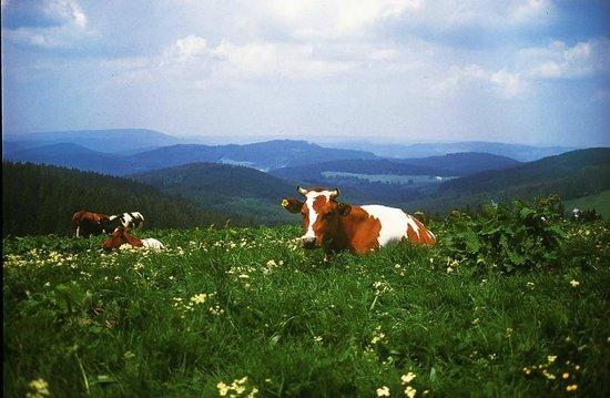 Hotel Reppert: Kühe auf dem Berg