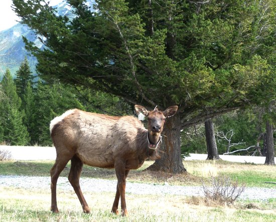 Tunnel Mountain Village II Campground : Elk spotted near campground