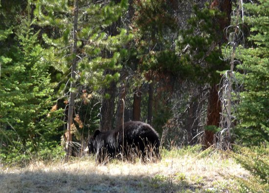 Tunnel Mountain Village II Campground : a black bear making a hasty run for it