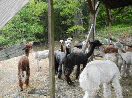 Bella Alpacas Farm : Male alpacas under the yoga loft