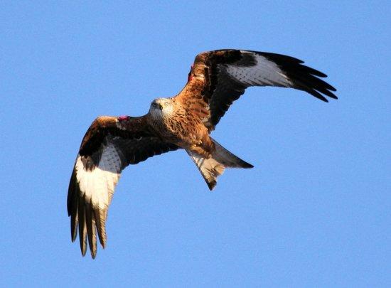 Argaty Red Kites