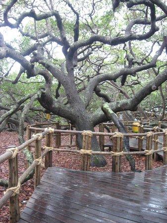Pirangi Cashew Tree: Tronco principal