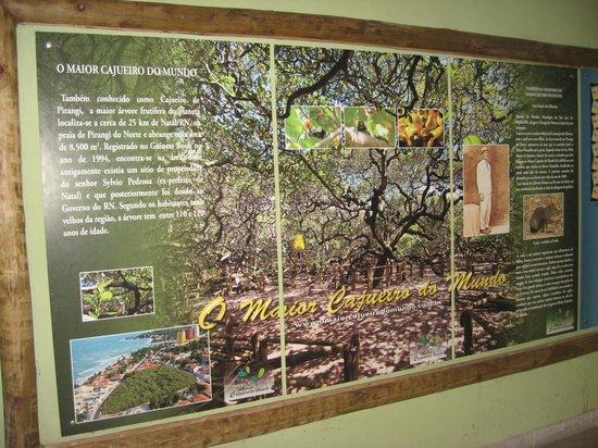 Pirangi Cashew Tree: História