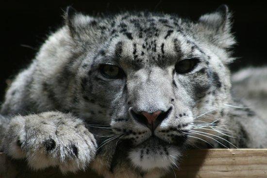 Omaha, NE: Bengal Tiger