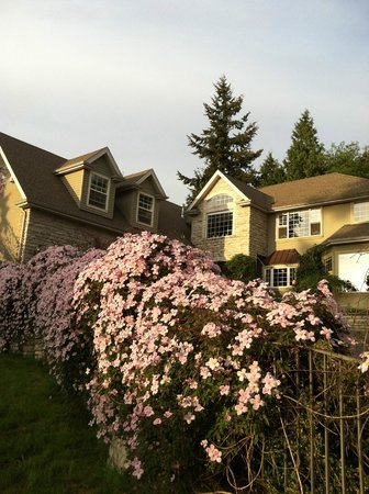 Viewmont Manor: Our entry hedge of clematis