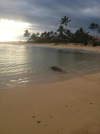 Baby Beach: Monk Seal going out to sea