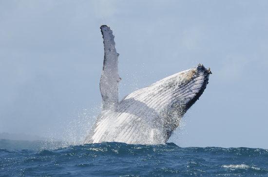 Nosy Be, Madagaskar: baleine à bosse !