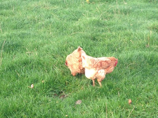 The Manor Bed and Breakfast: The hens which provide the eggs for breakfast