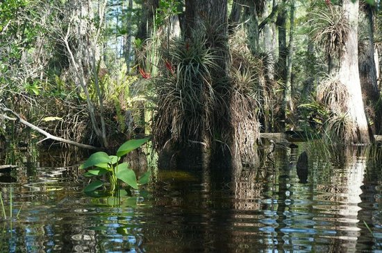 Captain Steve's Swamp Buggy Adventures: We were in 2-3 feet of water, it was an adventure, we had a big stick!