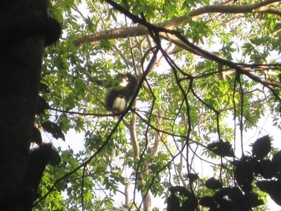Cat Tien National Park Bungalows : silvered langur